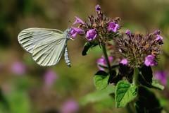 Leptidea sinapis (luporosso) Tags: natura nature naturaleza naturalmente nikond300s nikon farfalla farfalle butterfly butterflies mariposa borboleta papillon macro closeup