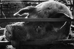 Fred (mfhiatt) Tags: iowastatefair iowastatefair2016 pig boar oink dscf97230816jpg iptvfair2016 iptvfairphoto