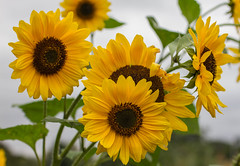 Sunflowers (Prabin Dahal) Tags: oxford botanicalgarden garden oxfordshire macro macrolens compactmacro canon eos 7d