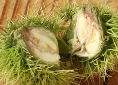 14-IMG_5503 (hemingwayfoto) Tags: eskastanie food frucht kastanie lebensmittel maronen stachelig