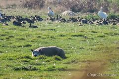 Texel september 2016 (Ingrid Fotografie) Tags: dieren ingridfotografie lancasterdijk lepelaar natuurenlandschap plaats schaap texel texel2016 texelerschaap vakantie vogels weiland