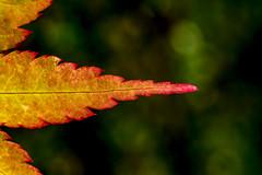 acero (Andrea Franceschina) Tags: acero macro new leaf