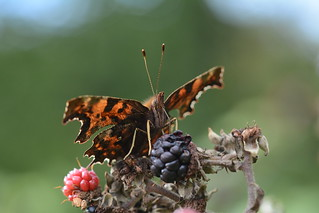 Autumn shades - Comma feeding on blackberry