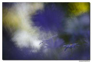 Anémone de Grèce - Anemone Blanda