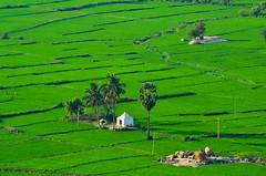 Green Home... (Manoj Kengudelu) Tags: life travel tree green love home nature beauty nikon truth weekend monsoon gokarna wisdom hampi traveler platinumphoto runawayii