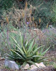 Aloe camperi (alloe.) Tags: aloe