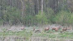 Edelherten aan bosrand (mirandal1973) Tags: oostvaardersplassen kotterbos edelherten