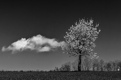 The tree and the cloud (Fotos4RR) Tags: cloud tree cherry spring wolke cherryblossom baum frühling kirsche kirschblüte