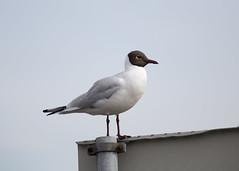 20150419_ornebu enda fere fugler_0076 (Pho2s4me) Tags: birds fugler fornebu hettemke