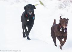 My Labraduo (KB RRR) Tags: dog snow colorado labrador r rockymountains frontrange chocolatelabrador shyla blacklabrador