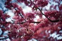 Sakura (haru__q) Tags: cherry ar blossom sony  cherryblossom sakura konica a7  hexanon
