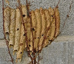 A little dab'll do ya (Dee Gee fifteen) Tags: nature vine cinderblockwall macrotextures mudwaspnest macromondays dirtdaubernest