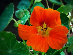 Nasturtium (R_Ivanova) Tags: nasturtium flower flowers nature macro garden summer colors color sony rivanova риванова природа цветя латинка