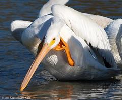 The Thinker (Kaptured by Kala) Tags: humor pelican aquatic waterfowl whitepelican scratching whiterocklake winterbirds americanwhitepelican pelecanuserythrorhynchos sunsetbay dallastexas aquaticbird