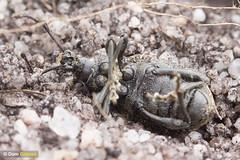 Digger wasp weevil tomb (Dom Greves) Tags: behaviour cercerisarenaria dorset heathland insect invertebrate july prey purbeck sandtaileddiggerwasp summer uk weevil wildlife