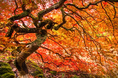 In The Twisted Maple || EVERGLADES GARDENS || LEURA (rhyspope) Tags: new blue autumn red orange pope mountains color colour fall nature leaves yellow gardens wales canon garden maple south australia foliage nsw everglades 5d aussie rhys mkii leura rhyspope