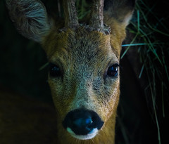 Portrait (Rico the noob) Tags: eye nature animal animals closeup germany published dof bokeh outdoor deer 300mm d500 2016 300mmf4pf