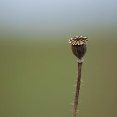 Parier sur l'avenir *---- ° (Titole) Tags: poppy seedpod titole nicolefaton squareformat friendlychallenges