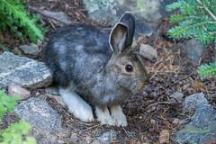 IMG_0082 snowshoe hare (starc283) Tags: rabbit nature canon snowshoe hare flickr wildlife snowshoehare naturesfinest varyinghare snowshoerabbit starc283