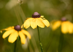 Drought (DaveLawler) Tags: drought wilted flowers green field yellow dof depthoffield massachusetts newengland bokeh blurgasm