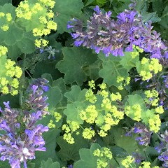 chartreuse & violet (ekpatterson) Tags: july 2016 flowers ladysmantle catmint nepeta