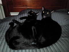 Brothers... (hug0ncalves) Tags: brothers animals cats cute supercute cuteness photo photography funny blackcat him her
