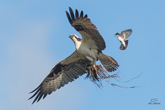 The Tyranny of Kingbirds (raspberryridgehouse) Tags: bird nature birds fly wings wing osprey kingbird
