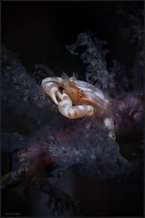 IMG_9961 (NonnaSP) Tags: animals crab diving lissoporcellananakasonei macro nature ocean sea softcoralporcellaincrab underwaterphotography water
