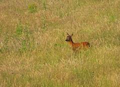 Sunlit Roe..x (lisa@lethen) Tags: roe deer nature wildlife field summer sun evening