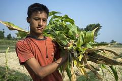 Farmer Raul Rana harvest green maize to feed his buffaloes in Bageshori, Banke (CIMMYT) Tags: nepal csisa cimmyt maize agriculture smallholder farmer mechanization asia