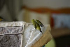 DSC_9236 (Jenny Yang) Tags: 小呆 小蕃茄 胡錦鳥 寵物鳥 lady gouldian finch pet bird 小綠 奇異果 綠繡眼
