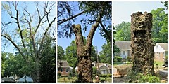 Silver Maple Farewell ~ (sad)TreeMendousTuesday! (karma (Karen)) Tags: baltimore maryland home frontyard trees silvermaple removal collages