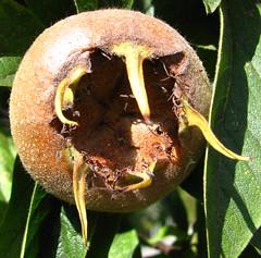 seedpod 9 (lisafree54) Tags: seed pod seedpod round spherical teeth fangs mouth fierce dangerous threatening pattern design plant nature free freephotos cco