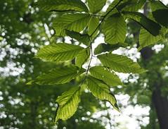 Leaves, light and bokeh in green (pilechko) Tags: bowmanshill newhope pennsylvania leaves green bokeh light trees