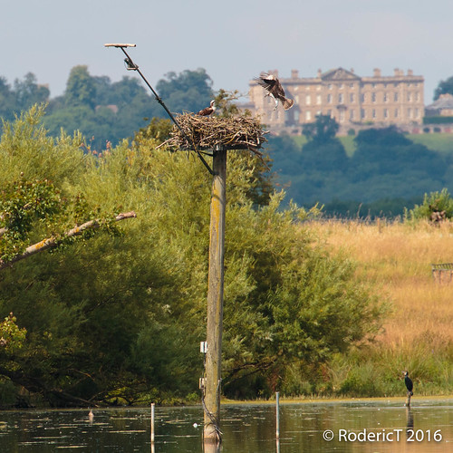 20160723-IMG_6774 Osprey Approaching And Second Osprey On Nest Cormorant Rutland Water.jpg