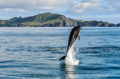 Leap (Kiwi-Steve) Tags: nz newzealand northisland bayofislands dolphin bottlenoseddolphin leap nikond90 nikon nature landscape