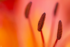 Stamen in a beautiful flower (Jessie van Weert) Tags: wonderful warm explore extreme extreem red yellow dynamic mysterious dynamisch day outdoor outside sun sunshine lucht interesting impressive nikon d3100 nice oranje orange photography plant plants adorable atmosphere abstract staatsbosbeheer spring depthoffield depth dof detail flickr fotografie fabulous focus gorgeous holland bijzonder light lente licht looking zon closeup view beautiful brabant bloei netherlands nature ngc natuur magical macro stamen meeldraad meeldraden flower flowering