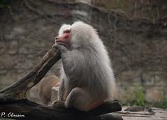 Mantle Baboon (pclaesen) Tags: mantelbaviaan mantlebaboon baviaan baboon monkey primate primaat zoo dierentuin amersfoort dierenparkamersfoort nederland netherlands holland animal animals nature nikond3200 nikon55300mm papiohamadryas ngc
