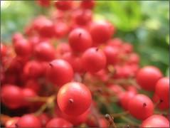 Red Abundance (Tölgyesi Kata) Tags: redberry arboretum budaiarborétum japánszentfa égibambusz mennyeibambusz heavenlybamboo sacredbamboo nandinadomestica garden withcanonpowershota620 fruit spring budapest tavasz
