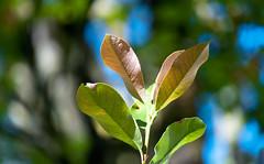 Bush Top Leaves (Orbmiser) Tags: 55200vr d90 nikon oregon portland summer bush leaf leaves top
