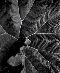 leave vein (sowhat63) Tags: botanischer garten tbingen silbermax adox silvermax