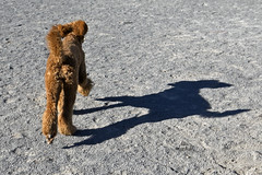 2666 (Jean Arf) Tags: ellison park dogpark rochester ny newyork september autumn fall 2016 poodle dog standardpoodle gladys jump leap play run shadow