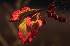 autumn (Bea Antoni) Tags: closeup nahaufnahme makro macro tamron canon rot red gegenlicht backlight natur nature fall autumn herbst