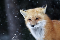 Snowy! (Seventh day photography.ca) Tags: redfox fox animal mammal wildanimal wildlife predator spring snow ontario canada snowing