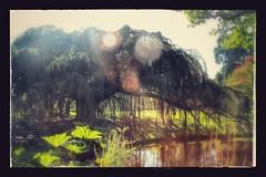 Elu arbre de l'anne 2015 ! (b.montecot) Tags: cdre pleureur bleu de latlas arboretum chatenay malabry vallee aux loups