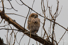 May 9, 2015 - A rain-drenched owlet in Commerce City. (Tony's Takes)
