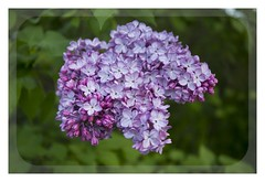Lila (Lourdes S.C.) Tags: flowers naturaleza flores plantas lilas
