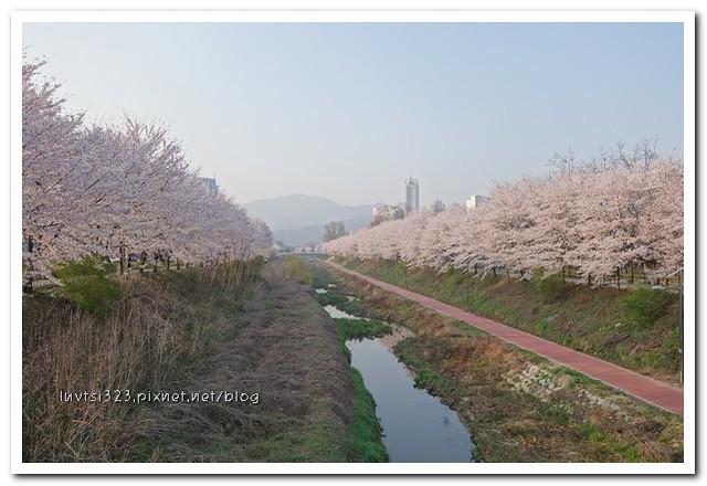 양재천벚꽃17