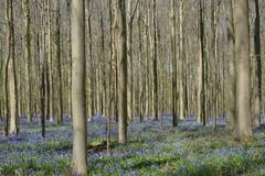 An intoxicating blue carpet. (Azariel01) Tags: wood blue flower fleur carpet spring belgium belgique tapis bleu hal printemps halle hyacinth bois jacinthe blooming hallerbos 2015 floraison boisdehal