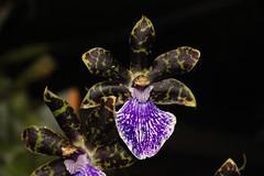 Zygopetalum intermedium Blten (betadecay2000) Tags: orchid peru pflanze brasilien lila blau amerika orchidee blte bolivien violett zygopetalum botanik zygo regenwald tropisch sdamerika botanisch epiphyt intermedium orchieen terristisch